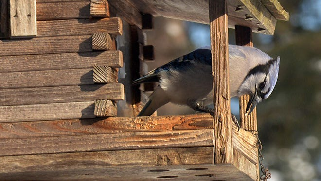A blue jay cracks open a sunflower seed, but they're also known to steal eggs and comandeer bird feeders.