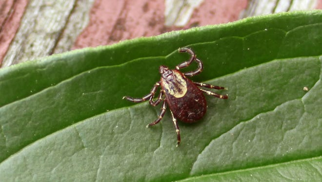 A female American dog tick. Ticks are vectors of a slew of diseases that humans can contract upon being bitten. The deer or blacklegged tick is the most common carrier of Lyme disease. American dog ticks can transmit Rocky Mountain spotted fever if infected.