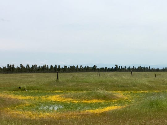 Vernal pools, or seasonal ponds, are surrounded by swathes of yellow flowers as they begin to dry up later in the spring.  Goldfields are often a major component of this sunny mix.