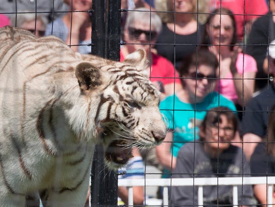 A white tiger roars during the Bruno's Tigers show