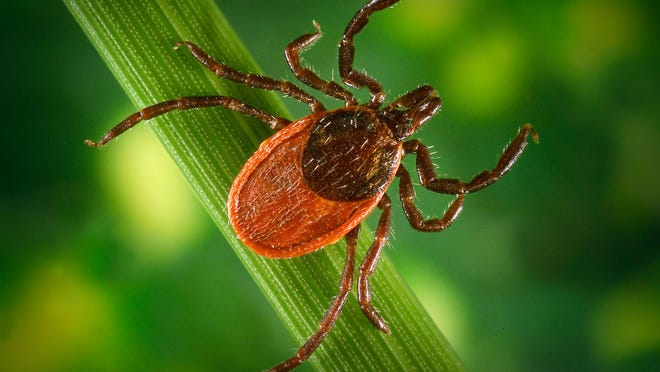 The deer or blacklegged tick is known to transmit Lyme disease.