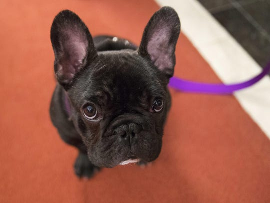 Pua, a 5-month old French bulldog, poses for photographers during a news conference at the American Kennel Club headquarters in New York. New dog owners can expect to shell out $1,200 to $2,000 in the first year, and as much as $14,500 over their pup's lifetime, according to the American Society for the Prevention of Cruelty to Animals. And that's just for routine costs.