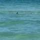Hammerhead shark says hello to Navarre Beach visitors, forces water evacuation