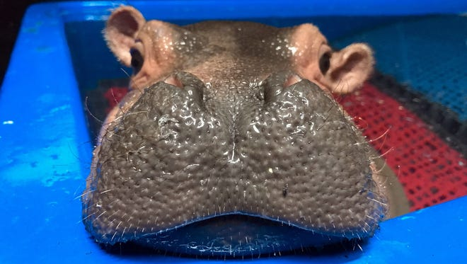 Fiona the baby hippo mugs for the camera in April 2017 in her favorite exercise pool at Cincinnati Zoo & Botanical Gardens.