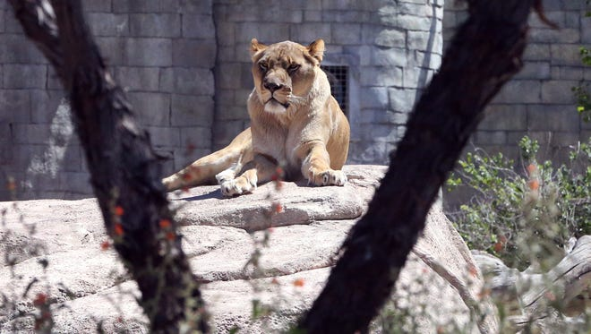 Zari, an African lion, rests in the African section of the El Paso Zoo and looks over at construction work on a new pavilion.