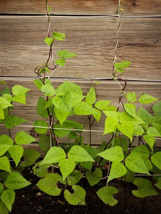 636662364891005930-purple-green-beans-string-trellis-Captivatinglightphotos-dreamstime-m-91766977.jpg