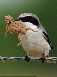 A shrike bird captures a lizard before preparing to post him on a cactus.