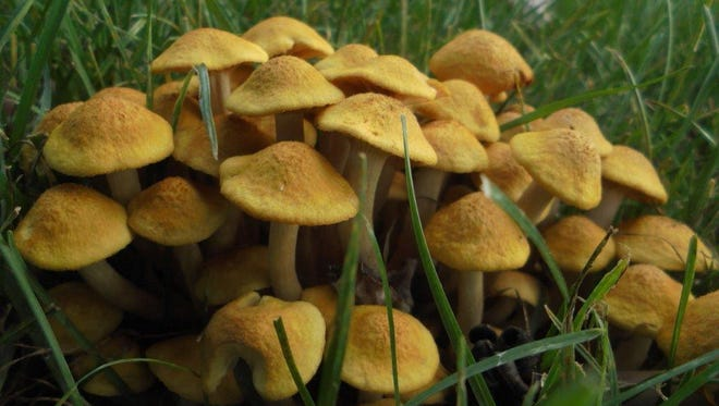 This photo of acluster of sulphur-colored fungi found in Mary Lee's back yard, prompted a search for identification.