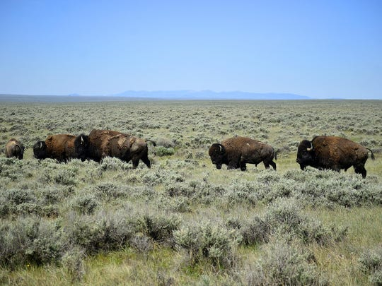 A bachelor group of bulls on the American Prairie Reserve's Sun Prairie Bison Range. The Little Rocky Mountain range can be seen in the distance.