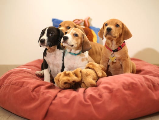 Puppies spend time playing and napping in a room at