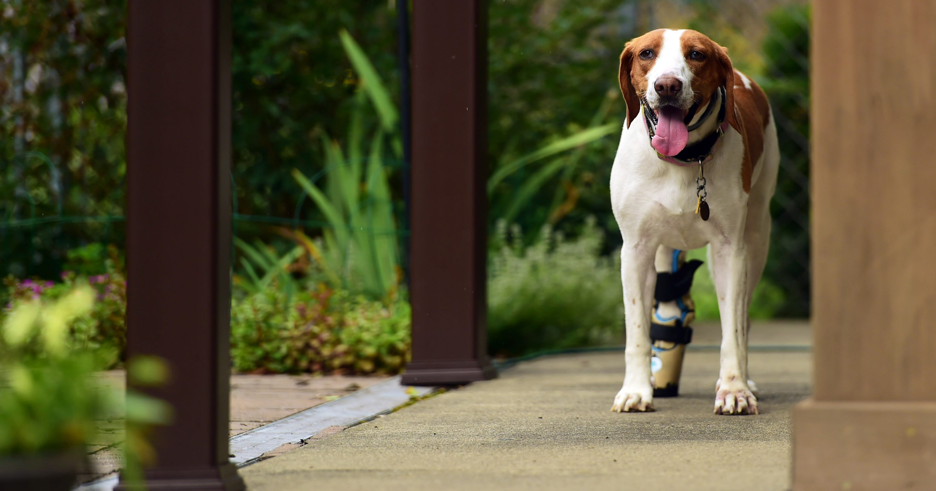 Cornell prosthetic helps West Virginia dog found in NY