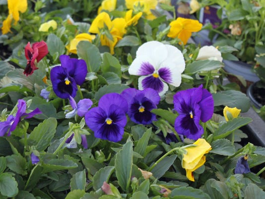 636112823585848955-pansies-blue-white-yellow.jpg