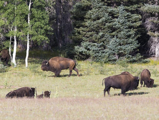 Michael Chow/The Republic A herd of bison graze on