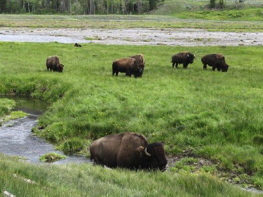 yellowstone bison_drak