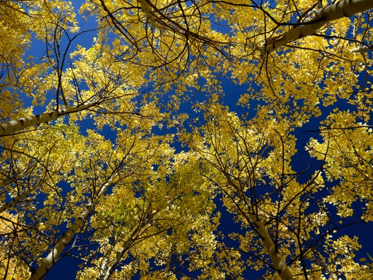 The fall colors are stunning right now at Pingree Park,