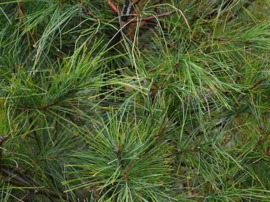 White pine trees have long soft needles and a fluffy