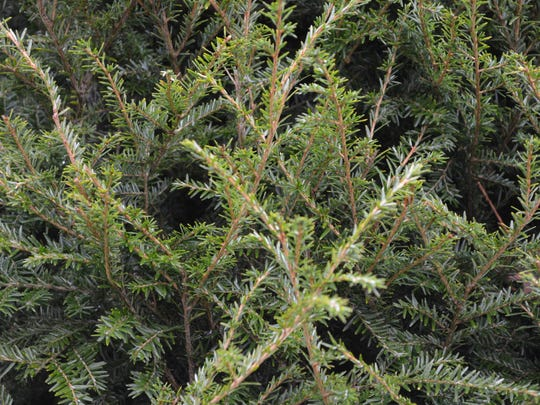 The Canadaian hemlock has long, tight branches with