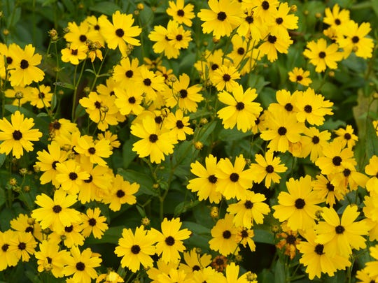 Coreopsis palustris 'Summer Sunshine' is the highest-rated coreopsis from the Mt. Cuba Center trial. It grows to 30'' tall and erupts with a sea of golden yellow flowers with dark central cones in late September.