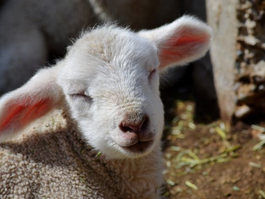 A little lamb enjoys the sunshine last week at the