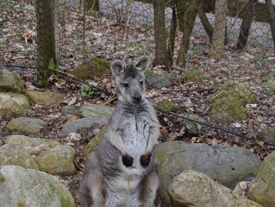 A wallaby sits ready for Binder Park Zoo's new season,