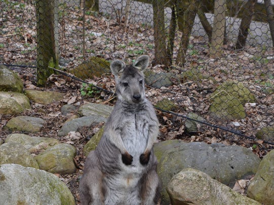 A wallaby sits ready for Binder Park Zoo's new season, which begins Thursday.