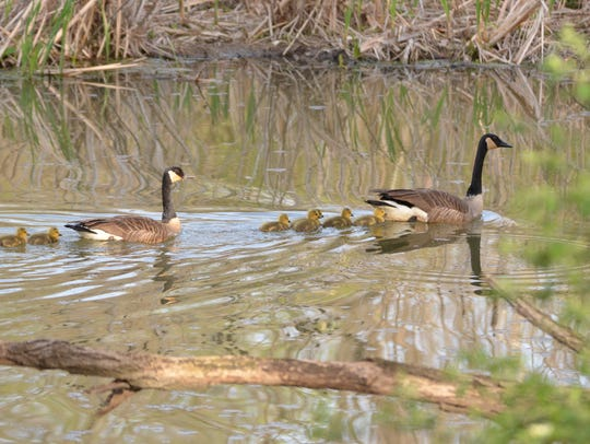 A pair of Canada geese lead their young offspring to