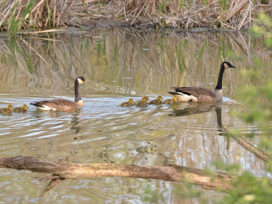 A pair of Canada geese lead their young offspring to safety.