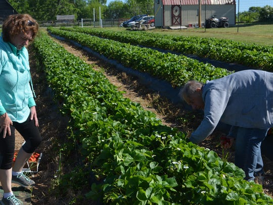 Terry Witt (left) and Dianna Langlie (right) pick strawberries off the vine.