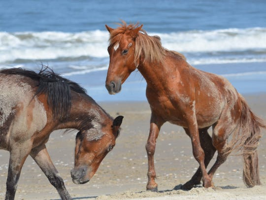 Wild Colonial Spanish mustangs play in the sand on North Carolina's Outer Banks in Corolla.