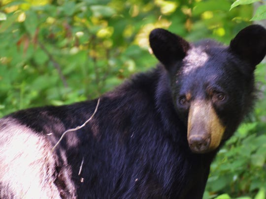 This black bear was seen near Matthews Arm Campground.