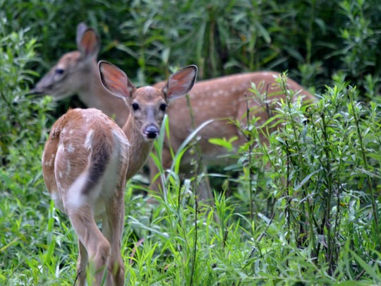 Seeing fawns on this trip to Elk County was not an unusual happening.