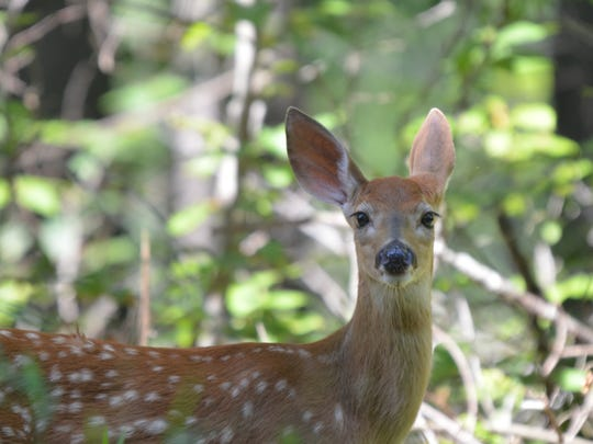 "Fawns lose their spots when they shed their summer coat, and their new ""all brown"" winter one replaces it."