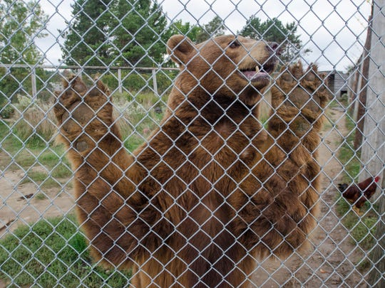 A bear leans against an enclosure at the Summer Wind Farm Sanctuary in Brown City.