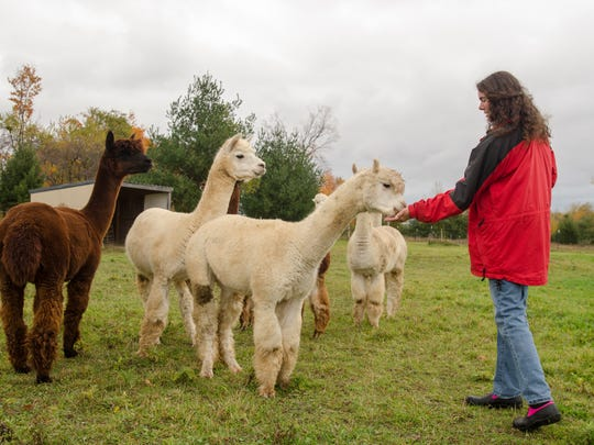 Monica Cronin feeds her alpaca's Sunday, Oct. 30, at her home and ranch in Carsonville.