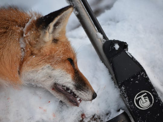 Fox hunting is still in season this time of the year.