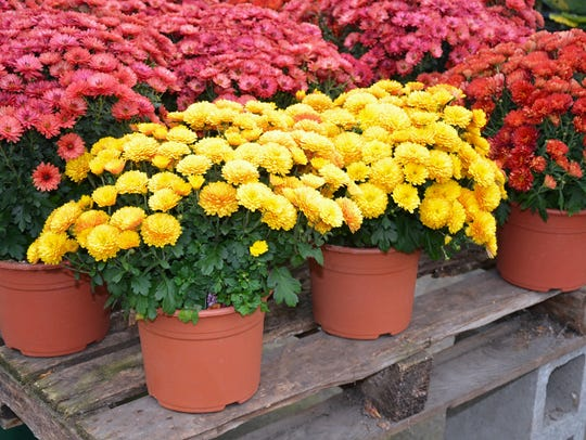 If you received a colorful autumn chrysanthemum over