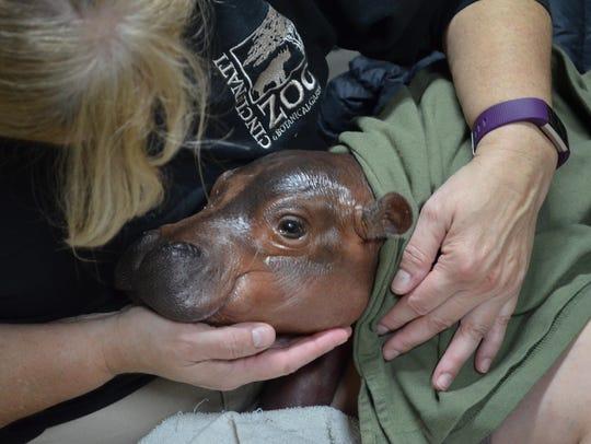 Bibi, a seventeen-year-old hippo, gave birth early
