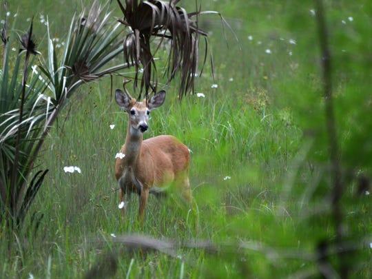 A deer stands in Corkscrew Swamp Sanctuary.