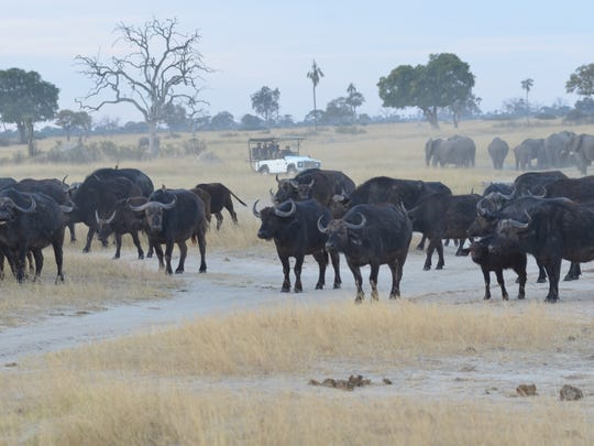 Safari-goers observe a herd of Cape buffalo in Zimbabwe.