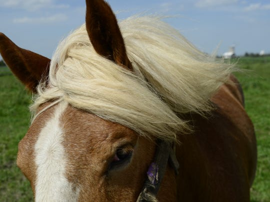 Levi, a 16-year-old Haflinger, has cataracts that limit his vision.