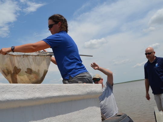 Elizabeth Foster, with the inland fisheries, Texas Parks and Wildlife Department loads largemouth bass into a container Thursday, before releasing them into Buffalo Creek Reservoir  in Iowa Park. Ninety of these spawn from the ShareLunker program were released in the lake.