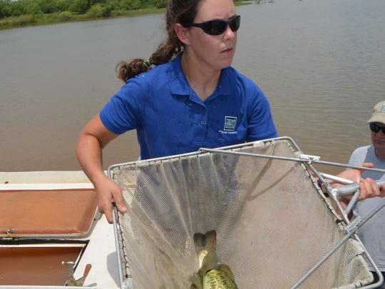 Elizabeth Foster, with the inland fisheries, Texas Parks and Wildlife Department loads largemouth bass into a container Thursday, prior to releasing them into the Buffalo Creek Reservoir  in Iowa Park. Ninety of these spawn from the ShareLunker program were released in the lake.