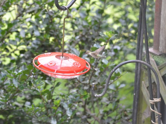 A Jewel-tone hummingbird makes an appearance in the owner's  backyard.