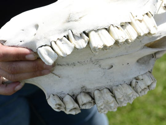 Amanda Welter of Port Clinton holds a cow's skull.