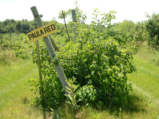 Paula reds will be the first variety of apple ready to be picked at McCallum Orchard this year.