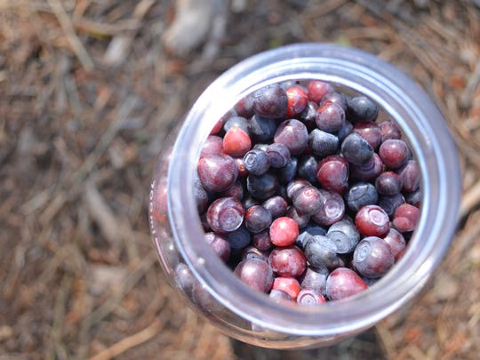 Huckleberries in high supply and demand near Indian Point.