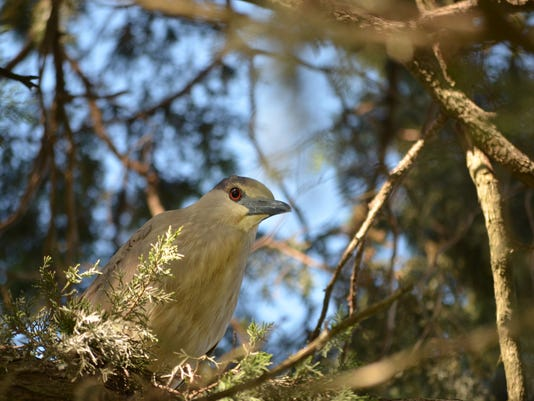 636397867061309235-black-crowned-night-heron.JPG