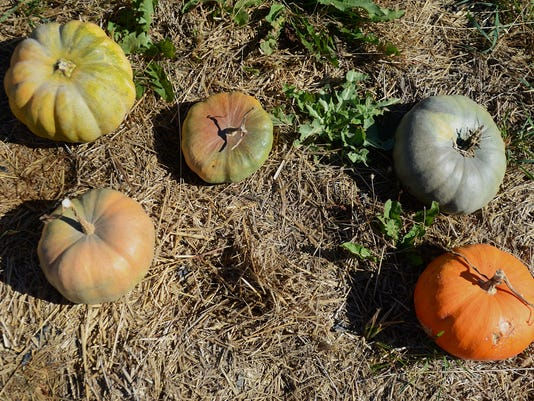 636430761517629087-pumpkins1.jpg