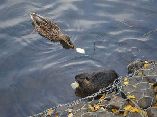 A duck and a nutria share brunch at Canby Community Park.