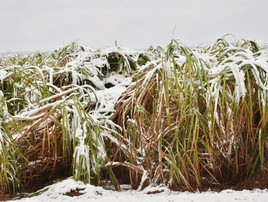 Sugarcane lies toppled in a field near Lecompte from